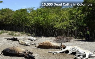 dead-cattle-colombia