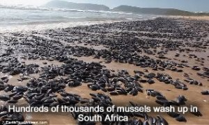 mussels-africa